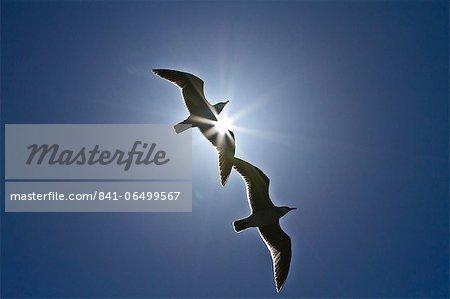 Heermann's gulls (Larus heermanni), Isla Rasa, Gulf of California (Sea of Cortez), Mexico, North America