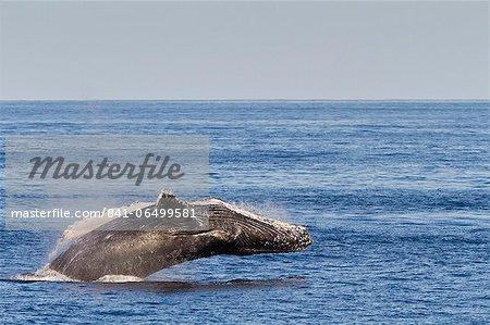 Adult humpback whale (Megaptera novaeangliae) breach, Gulf of California (Sea of Cortez), Baja California Sur, Mexico, North America