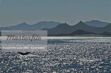 Humpback whale (Megaptera novaeangliae) flukes, Gulf of California (Sea of Cortez), Baja California Sur, Mexico, North America