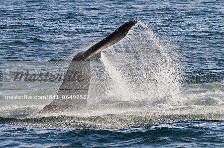 Humpback whale (Megaptera novaeangliae) tail slap, Gulf of California (Sea of Cortez), Baja California Sur, Mexico, North America