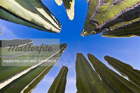 Cardon cactus (Pachycereus pringlei), Isla Catalina, Gulf of California (Sea of Cortez), Baja California, Mexico, North America