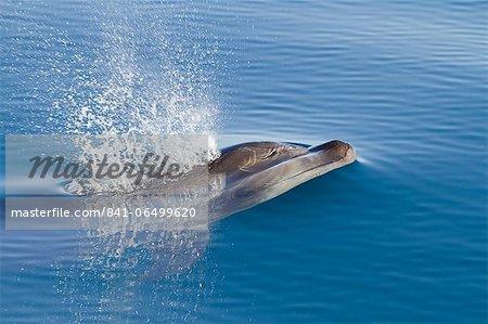 Bottlenose dolphin (Tursiops truncatus), Isla San Pedro Martir, Gulf of California (Sea of Cortez), Baja California Norte, Mexico, North America