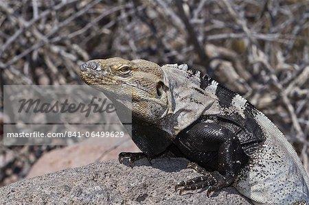 San Esteban spiny-tailed iguana (Ctenosaura conspicuosa), Isla San Esteban, Gulf of California (Sea of Cortez), Baja California, Mexico, North America