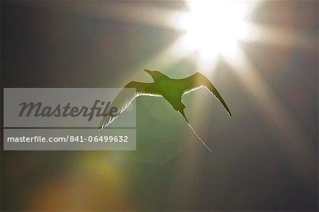 Adult red-billed tropicbird (Phaethon aethereus), Isla San Pedro Martir, Gulf of California (Sea of Cortez), Baja California, Mexico, North America