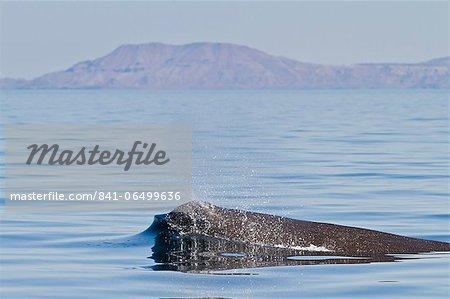 Sperm whale (Physeter macrocephalus) surfacing, Isla San Pedro Martir, Gulf of California (Sea of Cortez), Baja California Norte, Mexico