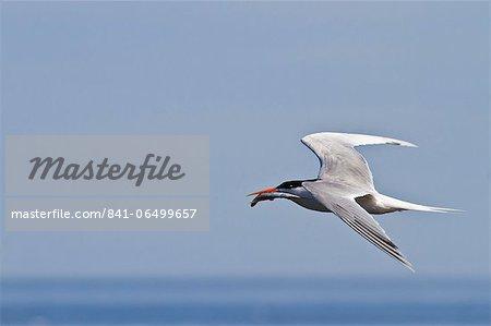 Elegant tern (Thalasseus elegans) with fish, Isla Rasa, Gulf of California (Sea of Cortez), Baja California, Mexico, North America