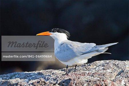 Elegant tern (Thalasseus elegans, Isla Rasa, Gulf of California (Sea of Cortez), Baja California, Mexico, North America