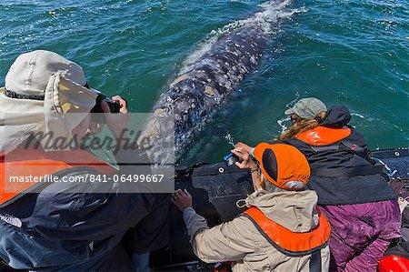 California gray whale (Eschrichtius robustus) and excited whale watchers, San Ignacio Lagoon, Baja California Sur, Mexico, North America