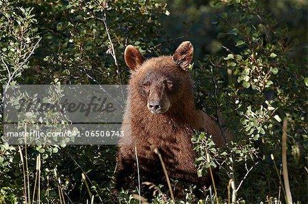 Cinnamon black bear (Ursus americanus), Glacier National Park, Montana, United States of America, North America