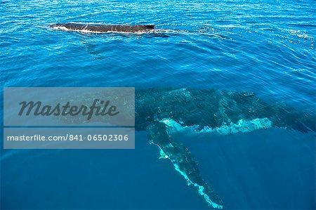Humpback whale (Megaptera novaeangliae) in Harvey Bay, Queensland, Australia, Pacific