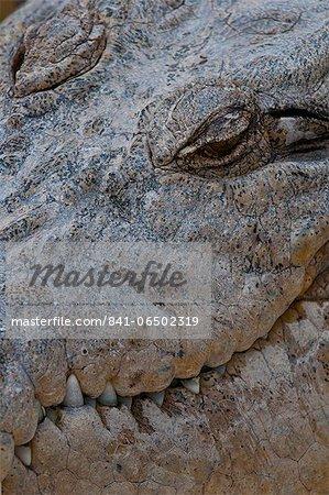 Saltwater crocodile (Crocodylus porosus), Queensland, Australia, Pacific