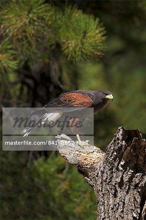 Harris hawk (Parabuteo unicinctus), Bearizona Wildlife Park, Williams, Arizona, United States of America, North America