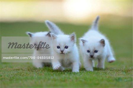 Three White Birman Kittens Running Together Outside on Grass