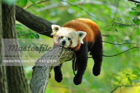 Red Panda (Ailurus fulgens) Lying on Tree Branch
