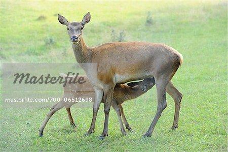 Red Deer (Cervus elaphus) Doe Feeding Fawn, Bavaria, Germany
