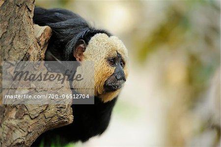 White-faced Saki Monkey (Pithecia pithecia) Leaning out from Tree