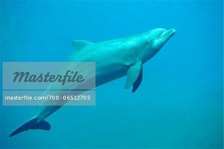Side View of Common Bottlenose Dolphin (Tursiops truncatus) Swimming Underwater