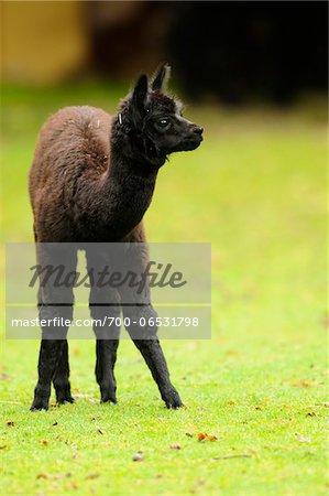 Young Black Llama (Lama glama) Standing in Clearing