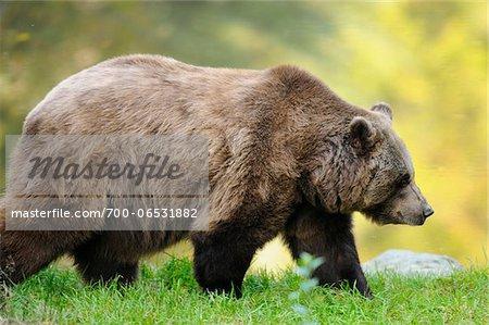Side View of European Brown Bear (Ursus arctos arctos) Walking, Bavarian Forest National Park, Bavaria, Germany