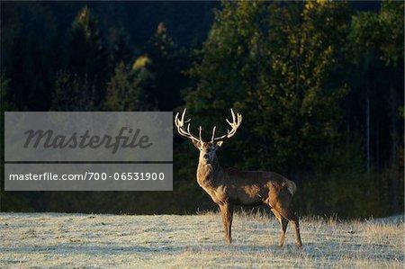 Red Deer (Cervus elaphus) Stag Standing in Field in the Morning Sunlight, Bavaria, Germany
