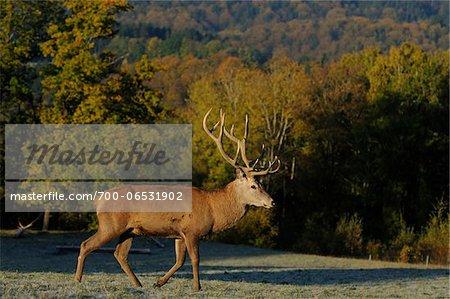 Red Deer (Cervus elaphus) Stag Walking in Field, Bavaria, Germany