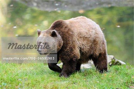 European Brown Bear (Ursus arctos arctos) near Water, Bavarian Forest National Park, Bavaria, Germany, Europe,