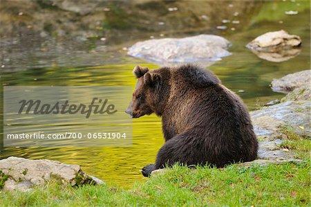 European Brown Bear (Ursus arctos arctos) Sitting at Water's Edge, Bavarian Forest National Park, Bavaria, Germany