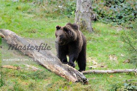 European Brown Bear (Ursus arctos arctos) Standing on Log, Bavarian Forest National Park, Bavaria, Germany