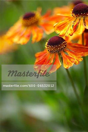 orange rudbeckia (black eyed susan) flowers in bloom in a Canadian garden