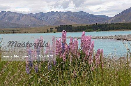 Lupine flowers growing on the bank of Lake Te Anau, New Zealand