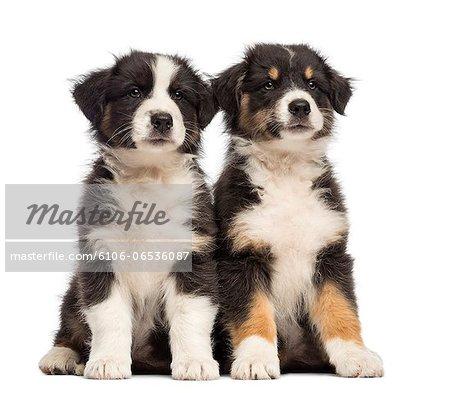 Two Australian Shepherd puppies sitting