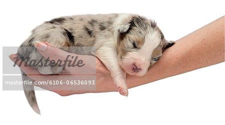 Australian Shepherd puppy sleeping in a hand