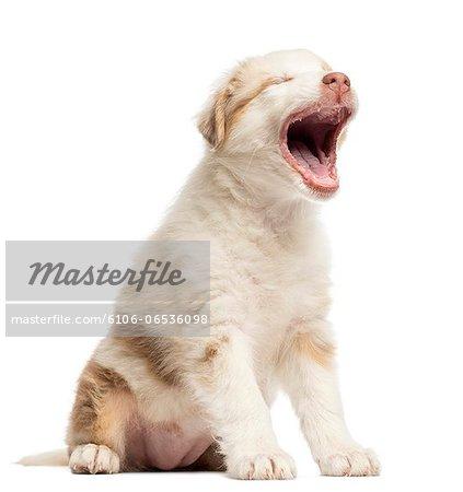 Australian Shepherd puppy yawning