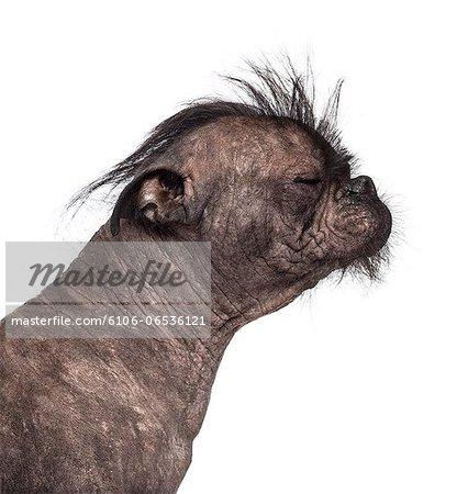 Hairless Mixed breed
