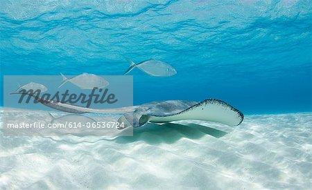 Ray and fish swimming underwater