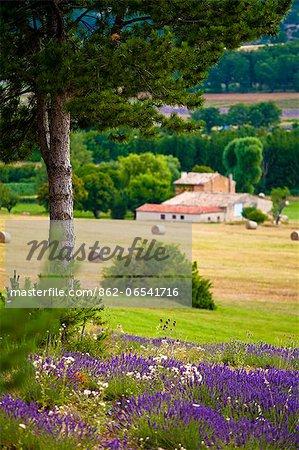 Blooming field of Lavender , Lavandula angustifolia, around Sault and Aurel, Provence Alpes Cote dAzur, Southern France, France