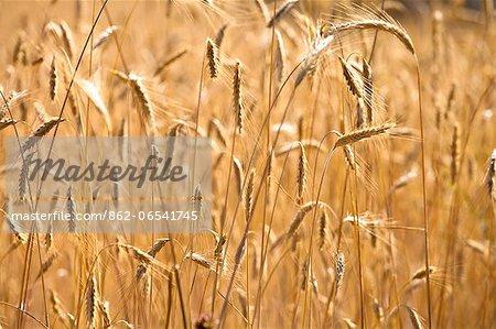wheat around Sault, Provence, France