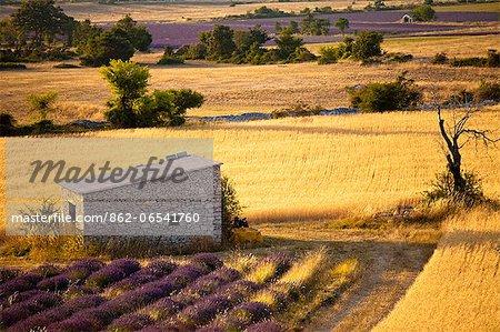 Blooming field of Lavender , Lavandula angustifolia, and Spanish Broom or Weavers Broom , Spartium junceum, Vaucluse, Provence Alpes Cote dAzur, Southern France, France