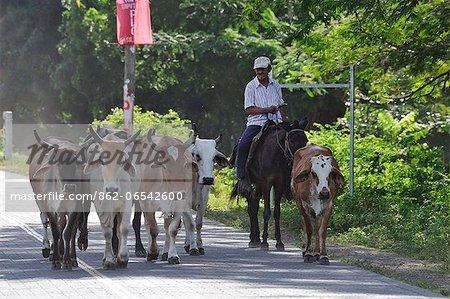 Local man herding his cattle, Playa Gigante, Nicaragua, Central America