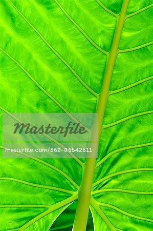 Close up of leaf detail, Aqua Wellness Resort,  Nicaragua,Central America