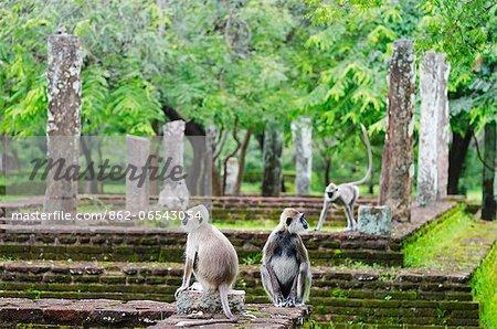 Sri Lanka, North Central Province Polonnaruwa, UNESCO World Heritage Site, Tufted Gray Langurs, Semnopithecus priam