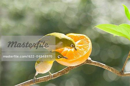 Japanese White Eye birds and tangerine