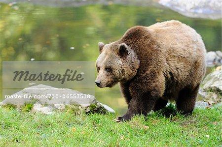 Eurasian Brown Bear (Ursus arctos arctos) near Lake, Bavarian Forest National Park, Bavaria, Germany