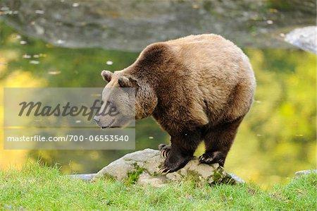 Eurasian Brown Bear (Ursus arctos arctos) Standing on Rock by Lake, Bavarian Forest National Park, Bavaria, Germany