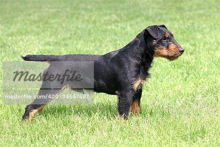 The portrait of German Hunting Terrier in the garden