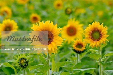 Sunflowers in Field, Bavaria, Germany