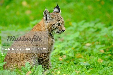 Lynx Sitting in Grass, Wildpark alte Fasanerie Hanau, Hesse, Germany