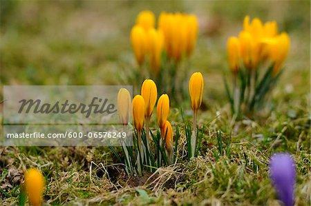 Crocus blossoms (Crocus vernus) in the grassland in early spring, Bavaria, Germany, Europe.