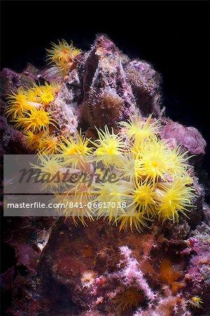 Yellow (Tubastrea faulkneri) coral polyps, Southern Thailand, Andaman Sea, Indian Ocean, Asia