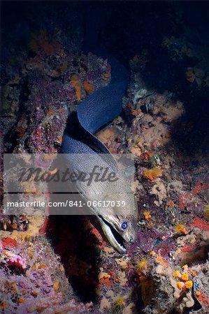 Giant Moray eel (Gymnothorax javanicus), Southern Thailand, Andaman Sea, Indian Ocean, Asia